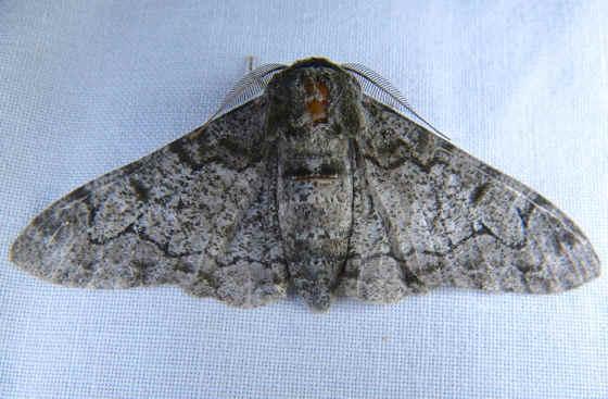 ' ' from the web at 'http://www.focusonnature.com/MothsO49.jpg'
