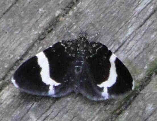 ' ' from the web at 'http://www.focusonnature.com/MothsO5.jpg'