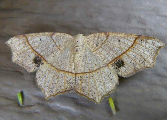 ' ' from the web at 'http://www.focusonnature.com/MothsO51.jpg'