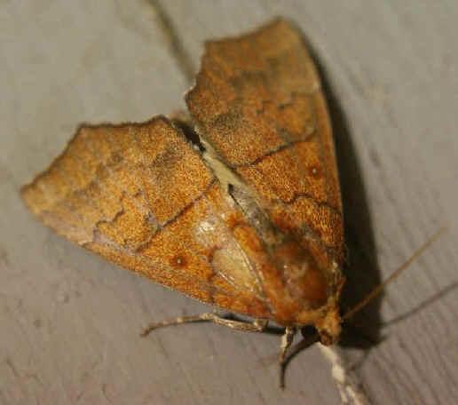 ' ' from the web at 'http://www.focusonnature.com/MothsO52.jpg'