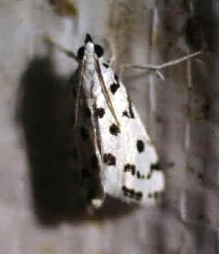 ' ' from the web at 'http://www.focusonnature.com/MothsO56.jpg'