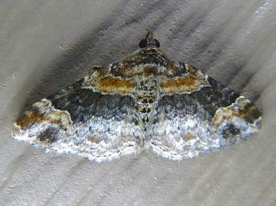 ' ' from the web at 'http://www.focusonnature.com/MothsO61.jpg'