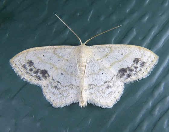 ' ' from the web at 'http://www.focusonnature.com/MothsO62.jpg'