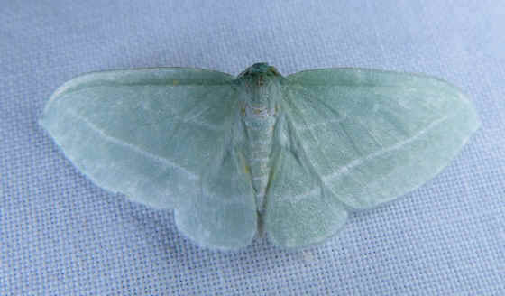 List of Moths in Eastern North America with some photos
