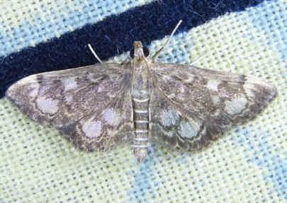 ' ' from the web at 'http://www.focusonnature.com/MothsO65.jpg'