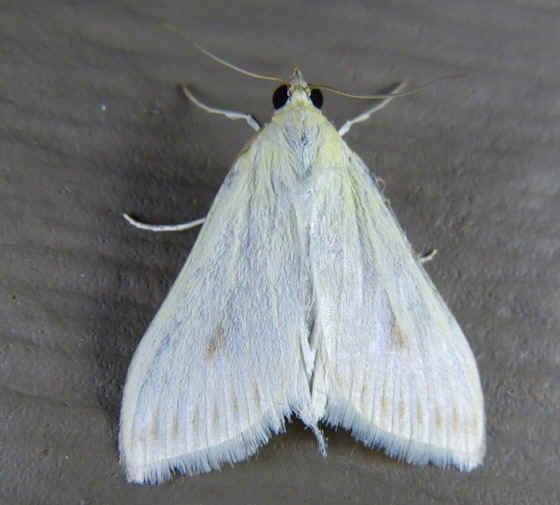 ' ' from the web at 'http://www.focusonnature.com/MothsO67.jpg'