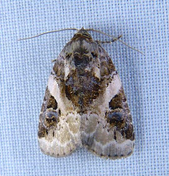 ' ' from the web at 'http://www.focusonnature.com/MothsO69.jpg'