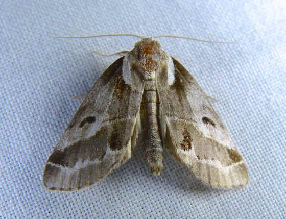 ' ' from the web at 'http://www.focusonnature.com/MothsO73.jpg'