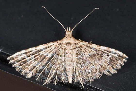 ' ' from the web at 'http://www.focusonnature.com/MothsO78.jpg'