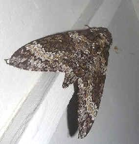' ' from the web at 'http://www.focusonnature.com/MothsO82.jpg'