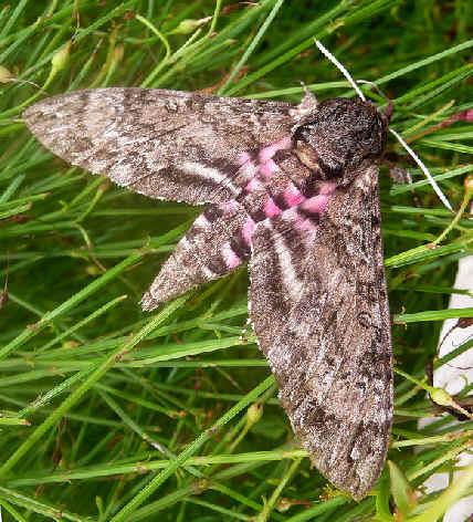 ' ' from the web at 'http://www.focusonnature.com/MothsO83.jpg'