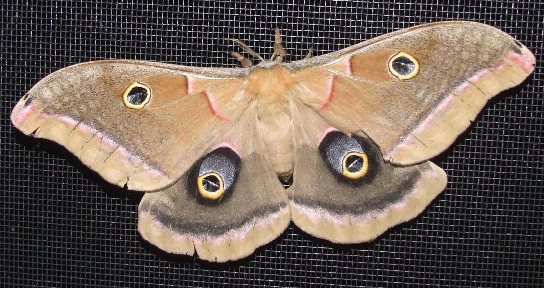 ' ' from the web at 'http://www.focusonnature.com/MothsO84.jpg'