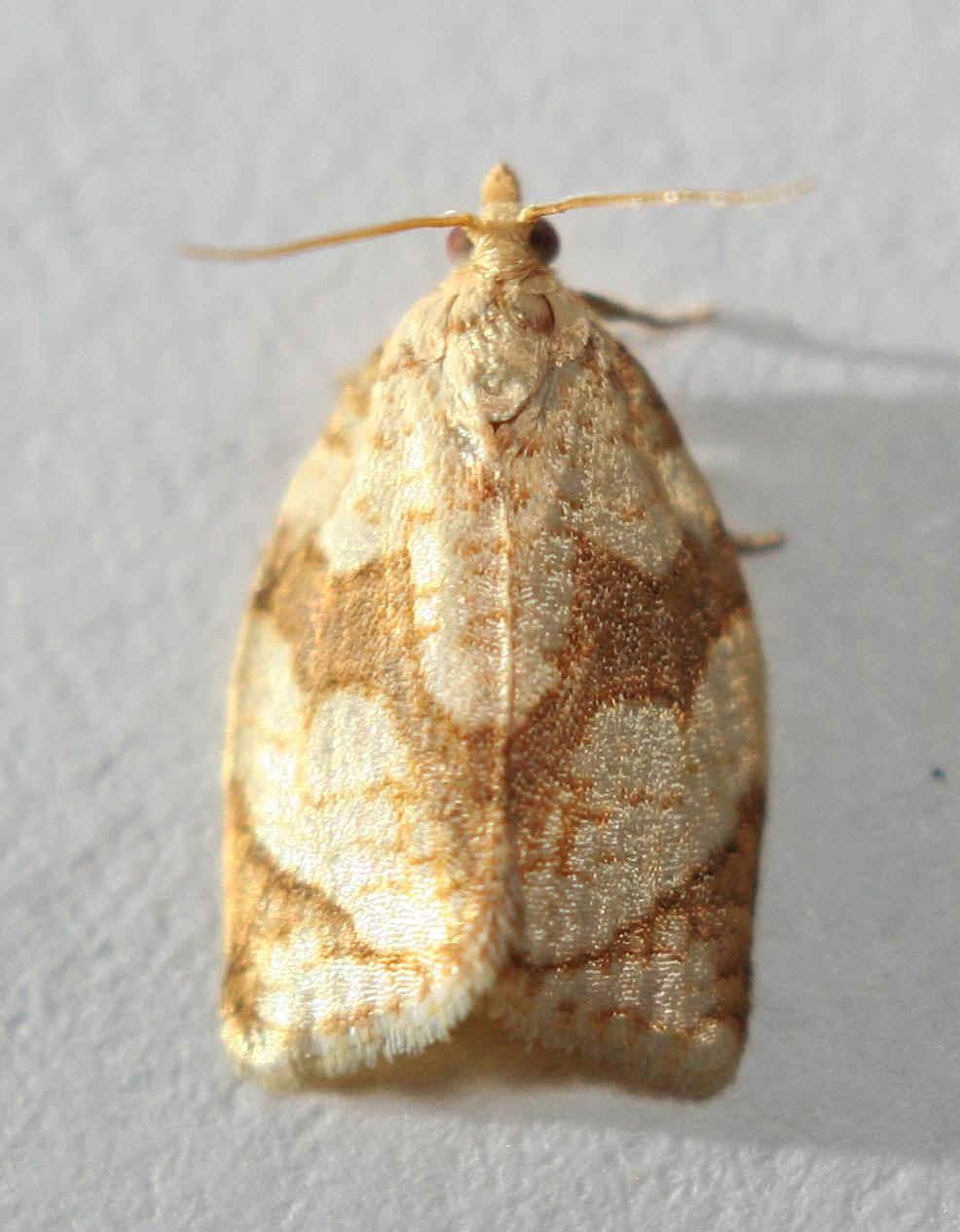' ' from the web at 'http://www.focusonnature.com/MothsO85.jpg'