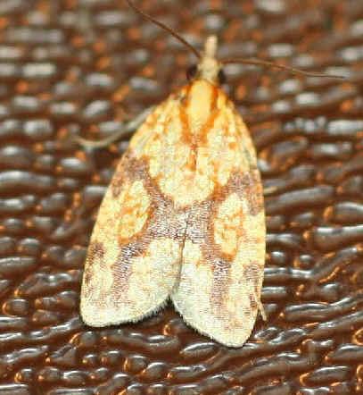 ' ' from the web at 'http://www.focusonnature.com/MothsO95.jpg'