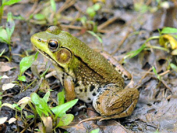 Amphibians and Reptiles of Eastern North America during ... Poisonous Green Frogs Of North Carolina