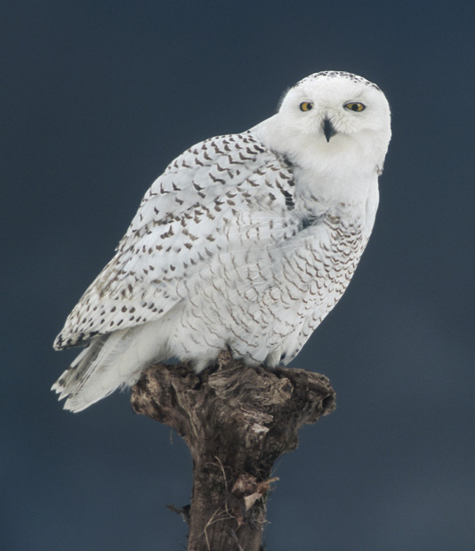 Snowy Owl best photo