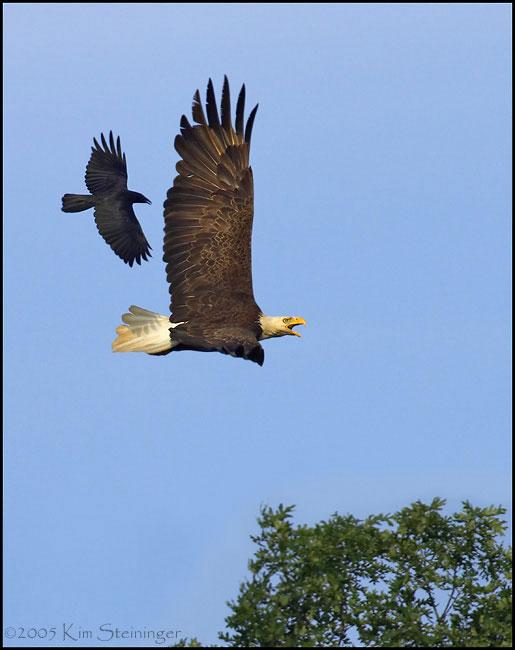 حکایت عقاب و کلاغ