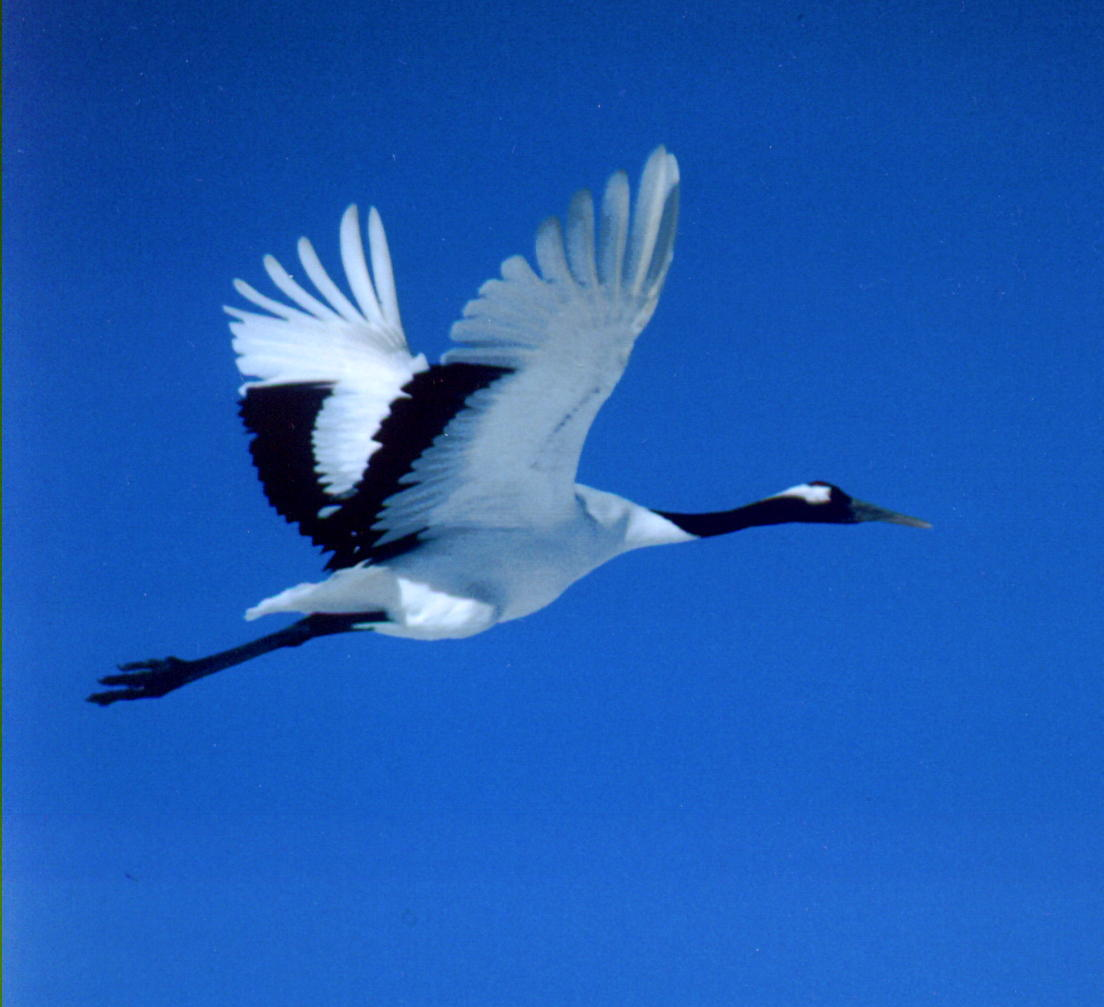 Red-crowned (or Japanese) Crane - FONT Japan Winter ... - photo#16